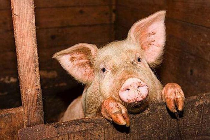 ВЛенинском районе Крыма выявлена вспышка африканской чумы свиней